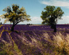 Lavender Field & Two Trees, Provence, France
